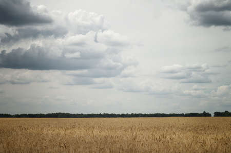 Ears of wheat in an agricultural field in cloudy weather under gray sky with big clouds Фото со стока