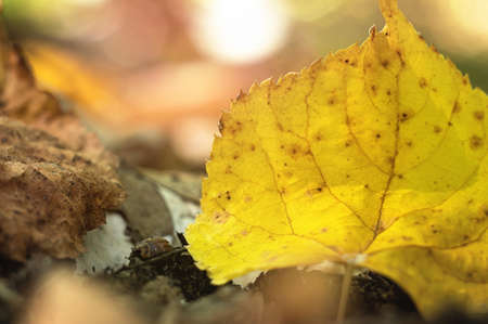 Linden yellow leaf in autumn September forest