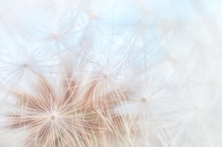 Blowball texture close up. Dandelion seeds abstract macro on blue sky background. Shallow depth of field soft focus
