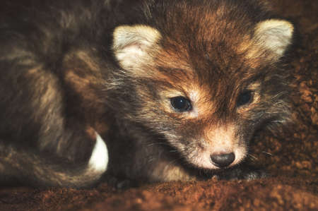 Little cub fox. Unusual cute ginger gray pet from the wild. 스톡 콘텐츠