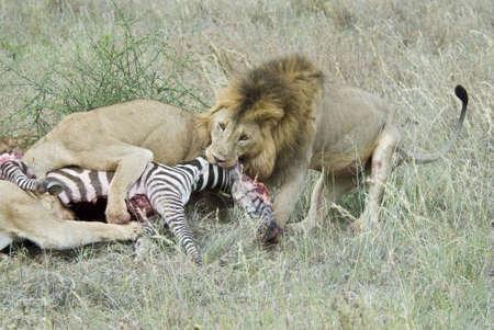 avidity: Lions Stock Photo