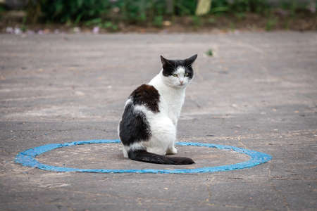 Black and white cat sits in a blue circle drawn on bad asphalt Stock Photo