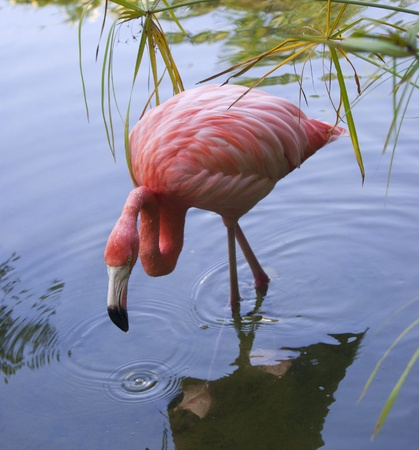 Pink flamingo in the pond. Dominican republic photo