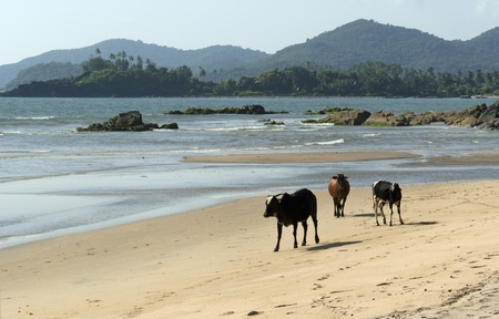 Sacred cow on the wild beach in Palolem. Goa. India photo