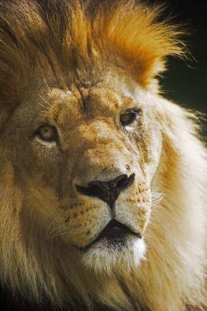 cara leon: El rey de todos los animales - Le�n
