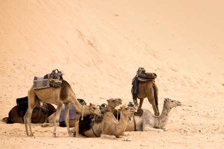 Camels are having rest in hot sahara desert