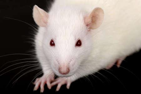 rata: Macro retrato de una rata de laboratorio blanco Foto de archivo