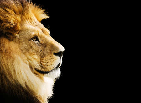 the lions: El rey de todos los animales retrato con copia espacio Foto de archivo