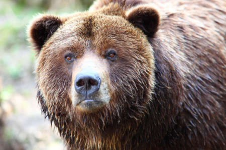 Close-up of brown bear