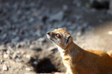 Yellow mongoose outdoors photo