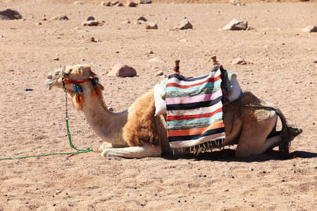 Camel in Egyptian desert photo