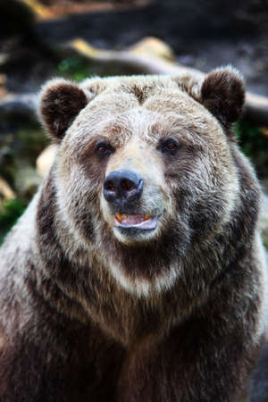 brown bear: Close-up portrait of brown bear