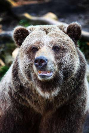 grizzly: Close-up portret brunatny Zdjęcie Seryjne