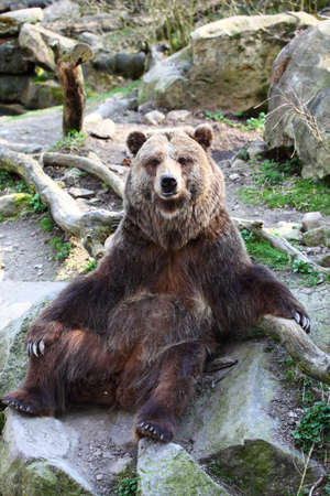 Portrait of brown bear sitting outdoors photo