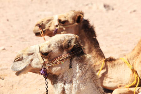 Two camels in desert of Egypt