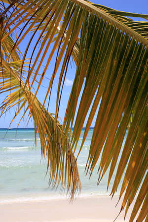 palm branch: Palm branch on beach of Punta Cana, Dominican Republic