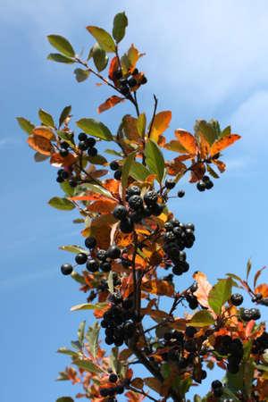 Black chokeberry (Aronia melanocarpa) - branch on a background of blue sky 免版税图像