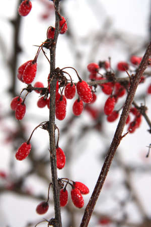 barberries in the snow Stock Photo