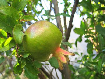 pomegranat: Unripe fruit pomegranate Stock Photo