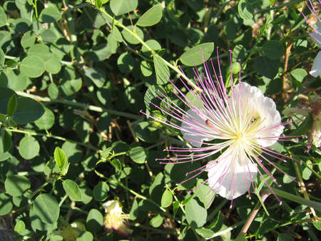 white caper flowers with pink stamens on the background of leaves