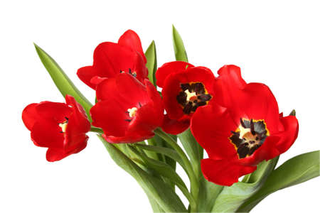 Spring flower - bouquet of red tulips. Isolated on white