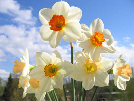 Spring flower - bouquet of daffodils on the background of sky and clouds