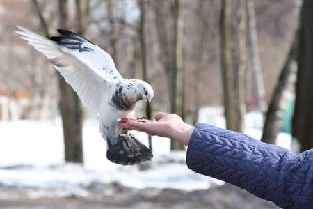 Dove feeding and balancing on woman's hand Stock Photo - 4512781