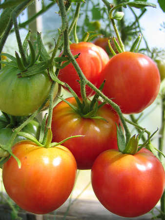 bunch of ripe tomatoes on the bed
