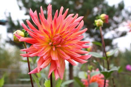 pink cactus type dahlia flower in summer garden photo