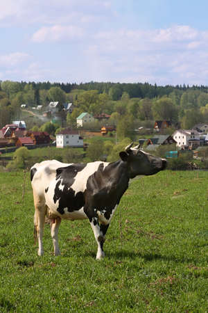 Grazing cow at the meadow in front of village Stock Photo - 4927971
