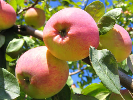 cider: red and yellow ripe apples on apple tree branch