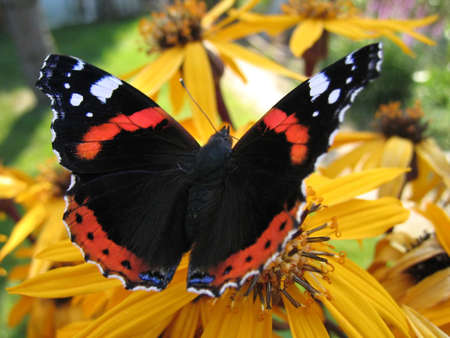 Red admiral butterfly (Vanessa Atalanta) on yellow flower photo