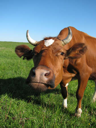 An inquisitive cow stares at the camera photo