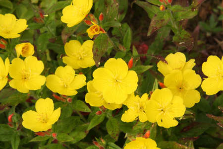 Background of nice yellow flower (Oenothera)