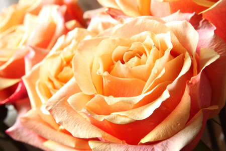 Close-up of Roses in Pastel Color photo