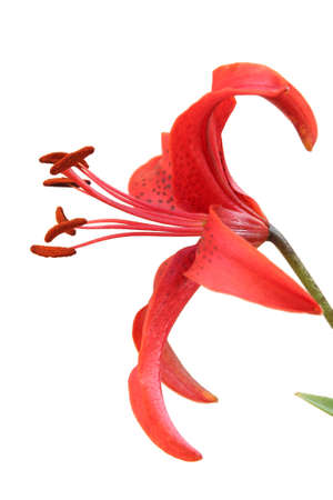 Tiger lily flower. Isolated on white photo