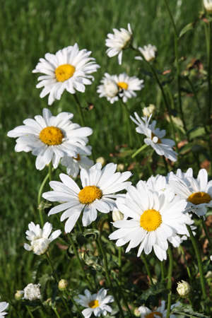 Large white ox-eye daisies (Leucanthemum vulgare) at meadow Stock Photo - 5249356