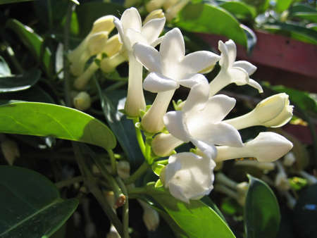 Jasmine flowers (Stefanotis) Stock Photo