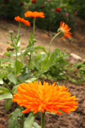 Calendula officinalis (Marigold) - Medical Herb Stock Photo - 5277702