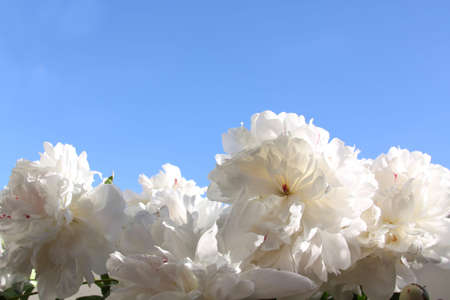 White peonies on the background of the sky photo