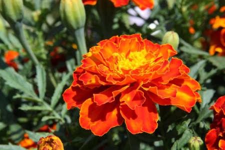 patula: Close-up of orange marigolds (Tagetes patula) in the garden Stock Photo