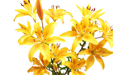 yellow stamens: Bouquet of yellow lilies. Isolated on white
