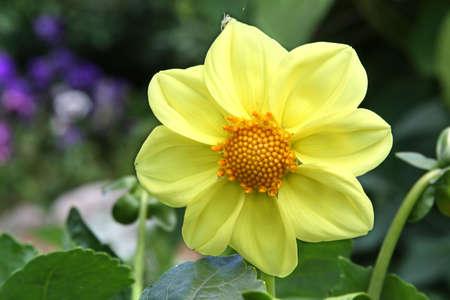 Yellow dahlia flower in the garden photo