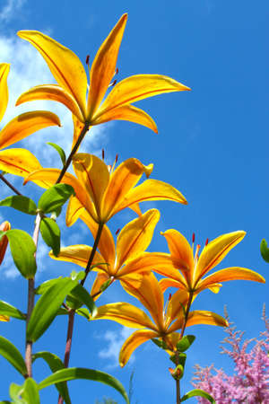 stargazer lily: Yellow lily against the background of blue sky