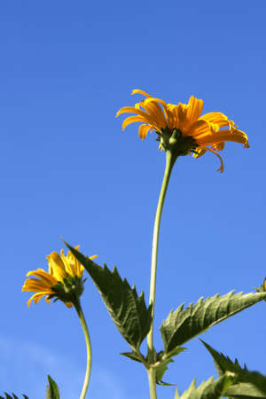 Yellow daisies (Heliopsis) on the background of blue sky photo