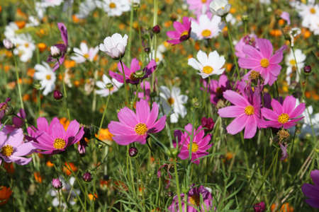 Pink and white cosmos flowers in a garden Stock Photo - 5392066