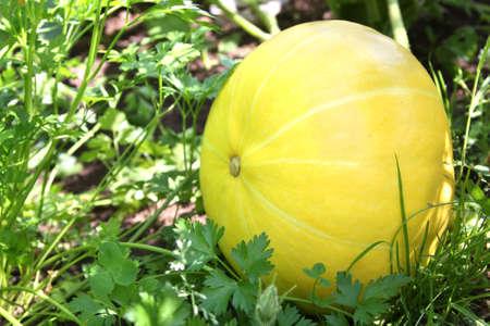Pumpkin growing in the garden still on the vine photo