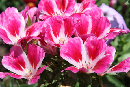 Close-up of gotetia grandiflora Lindl. or clarkia