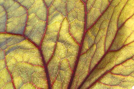 backlite: Backlite green leaf with red veins.  Close up