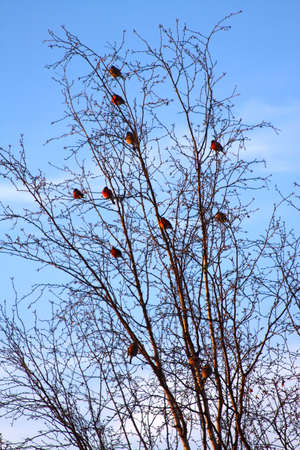 bullfinch flock in a tree Stock Photo - 5596735
